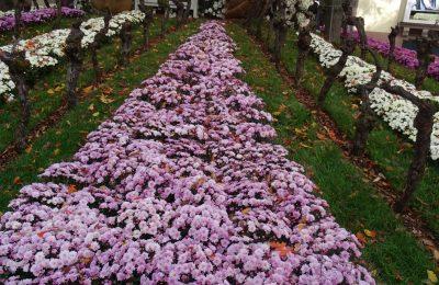Chrysanthema in Lahr Blumenmeer