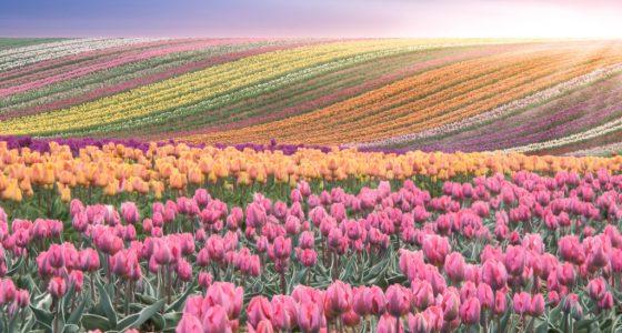 Holland Tulpenblüte Tulpenfelder